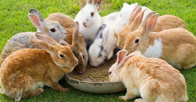 به خرگوش چه غذایی بدهیم؟